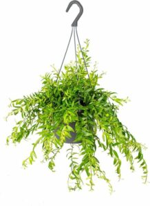 Aeschynanthus 'Mona Lisa' - Lippenstiftplant in hangpot per stuk - Kamerplant