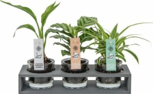 Decoratieve kamerplanten mini Soil Jewel