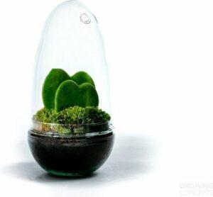 Growing Concepts DIY Duurzaam Ecosysteem Egg Medium - Planten - Hoya Kerrii - H25xØ12cm