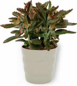 Kamerplant Kalanchoë Tomentosa - ± 35cm hoog - 12cm diameter - in grijze pot