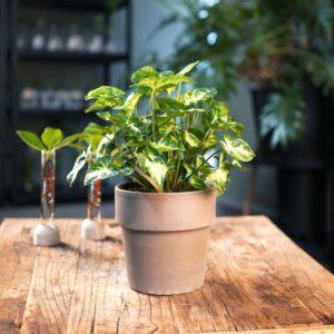 Kamerplant van Botanicly – Syngonium Pixi met grijze sierpot als set