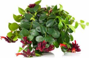 Lippenstiftplant
