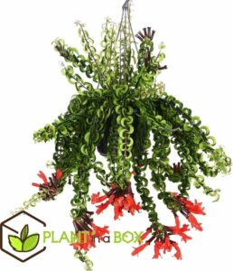 PLANT IN A BOX - Aeschynanthus 'Twister' - lippenstiftplant