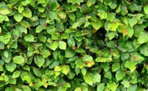 De juiste heggensnoei voor een dichte plantengroei